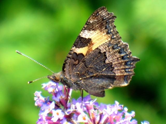 Aglais urticae. - 27.07.2011 - U. Kunick