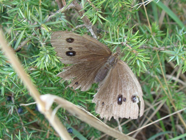 Minois dryas. - Ungarn, Nationalpark Balaton Oberland (Balaton-Felvidéki Nemzeti Park) 26.08.2008 - F. Herrmann