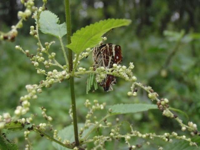Weibchen von Araschnia levana bei der Eiablage. - Naundorf 12.07.2009 - S. Pollrich