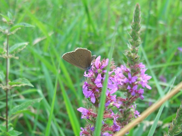 Phengaris nausithous an Blutweiderich (L. salicaria) saugend. - Biesern 05.08.2005 - S. Pollrich