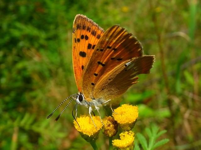 Lycaena virgaureae (Weibchen). - nahe Spey, Heidegebiet unter Stromtrasse neben Strasse nach Boxberg 10.08.2013 - F. Herrmann