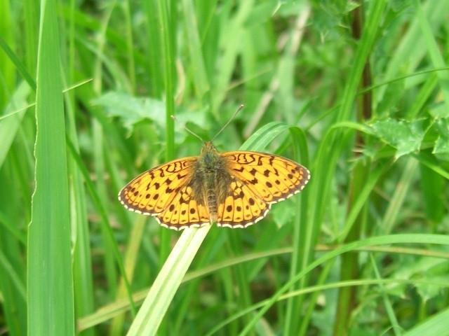 Brenthis ino. - Vockerode (ST) 01.06.2007 - S. Pollrich