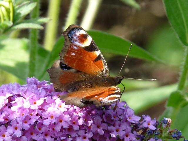 Aglais io. - Chemnitz, Botanischer Garten 08.08.2009 - A. Pollrich