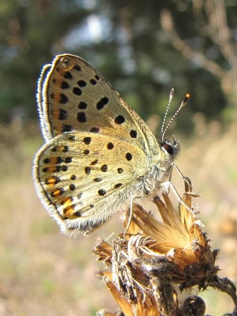 Lycaena tityrus (Weibchen). - Burg, Bergbaufolgelandschaft 03.10.2011 - F. Herrmann