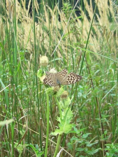 Argynnis paphia. - Kleinlimritz 12.08.2006 - S. Pollrich