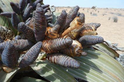 Blütenstände einer weiblichen Welwitschia