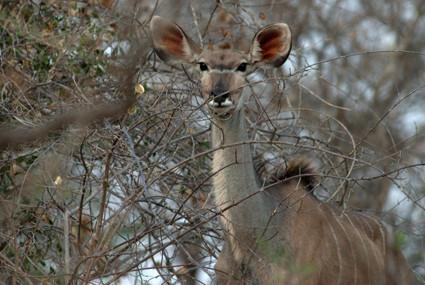 neugierige Kudu-Frau