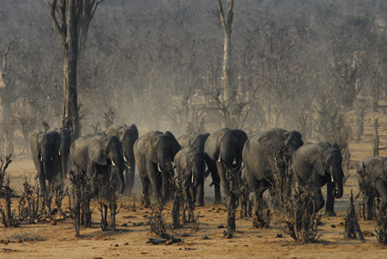 Elefantenansturm im Hwange Nationalpark