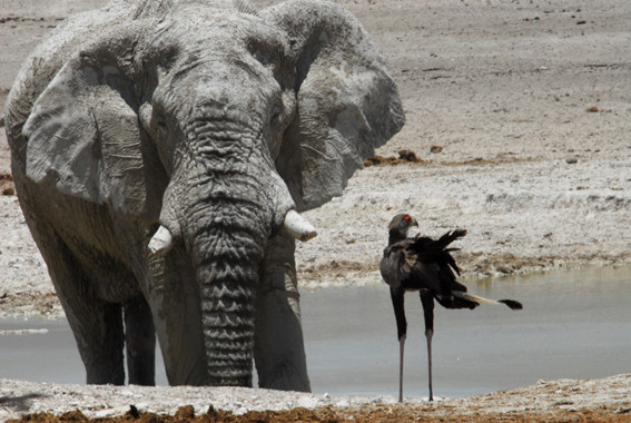 Elefant und Sekretärvogel in Nebrowni