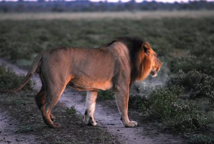 Kalahari-Löwe