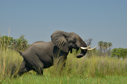 aufgeschreckter Elefant (BOT)