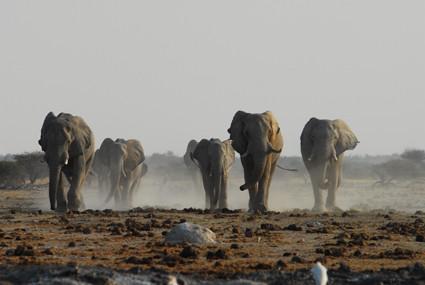 eilige Elefanten