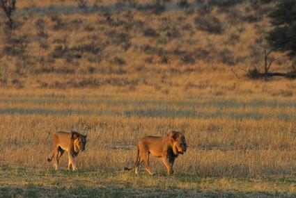 Löwen im Auob-Tal