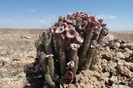 Hoodia gordonii in der Namib