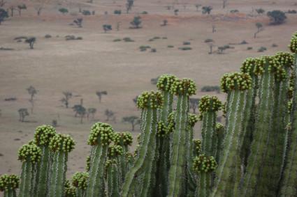Euphorbie (euphorbia virosa) in der Namib