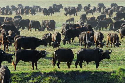 Wasserbüffel am Chobe