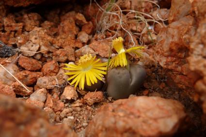 Lebende Steine (Lithops) in den Tirasbergen
