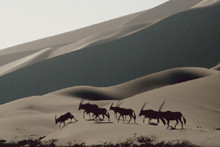 Oryx-Antilopen in den Dünen beim Sossusvlei