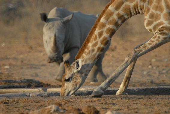 Nashorn un d Giraffe bei Tsumcor