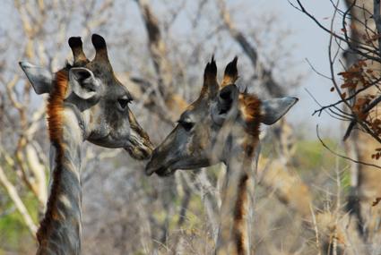 Giraffen im Busch