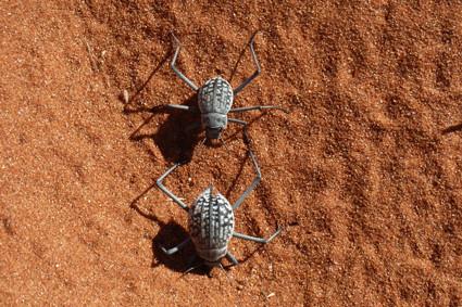raffinierte Wüsten-Käfer