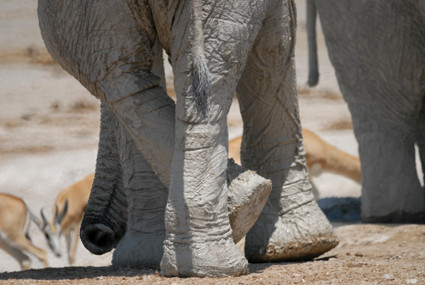 entspannter Elefant