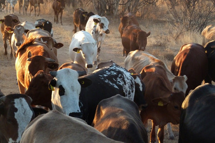 Rinder auf Farm Etendero