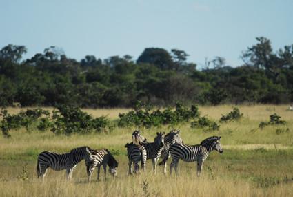 Zebraherde in Nationalpark