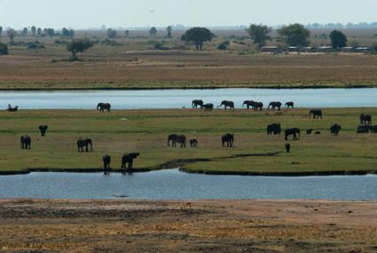 Büffel und Elefanten am Chobe