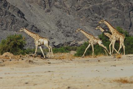 Giraffen im Hoanib