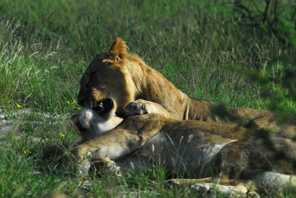 Löwen beim wach werden