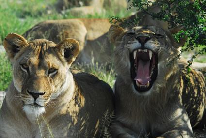 Löwen-Rudel