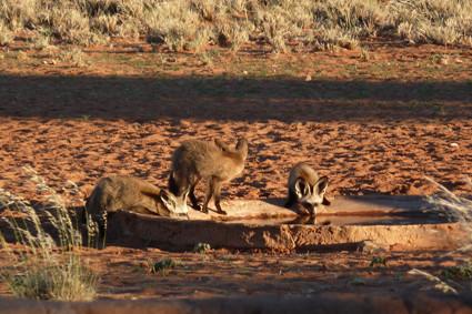 Löffelhunde an einer Wasserstelle in Namib Rand