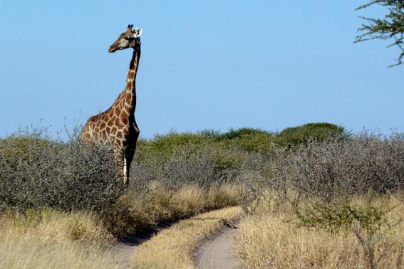 Giraffe an der Leopard Pan