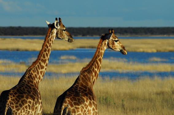 Giraffen an der Fishers Pan