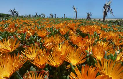 Mittagsblumen am Strand