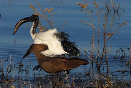 Heiliger Ibis und Hammerkopf am Kavango