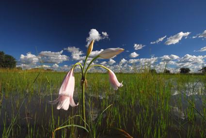 Wasserlilie am Kavango