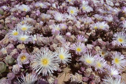 Mittagsblumen (Mesembs) in voller Blüte