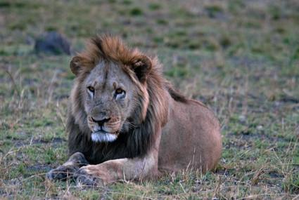 Löwe in Nkasa Lupala