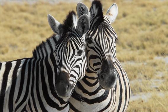 Zebras bei Sprinbok Fontein