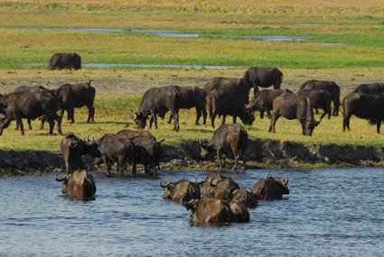 Büffel queren den Fluss
