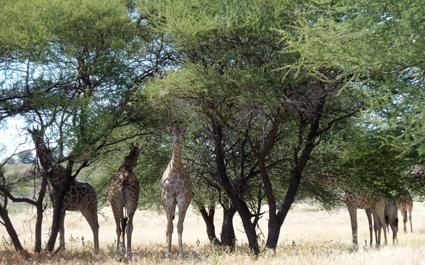 junge Giraffen