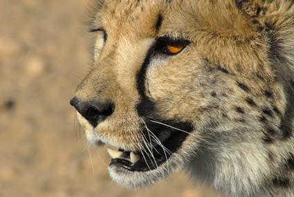 Gepard in Düsternbrook