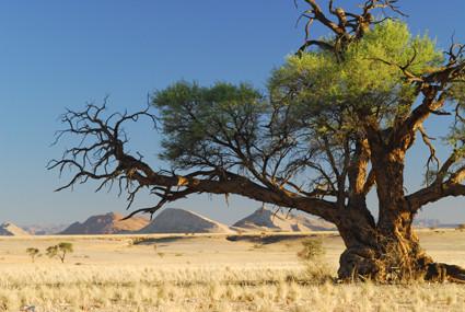 Kameldornbaum im Tsondab Valley Scenic Reserve