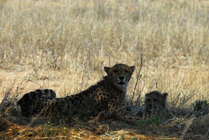 Gepardin mit Jungen im Auob-Tal