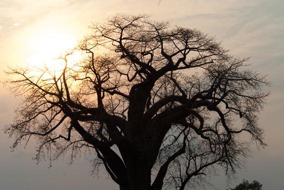 Affenbrotbaum in Mudumu