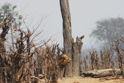 Löwe im zimbabwischen Busch
