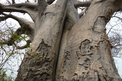 Affenbrotbaum (Baobab) am Kavango