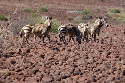 Bergzebras im Damaraland